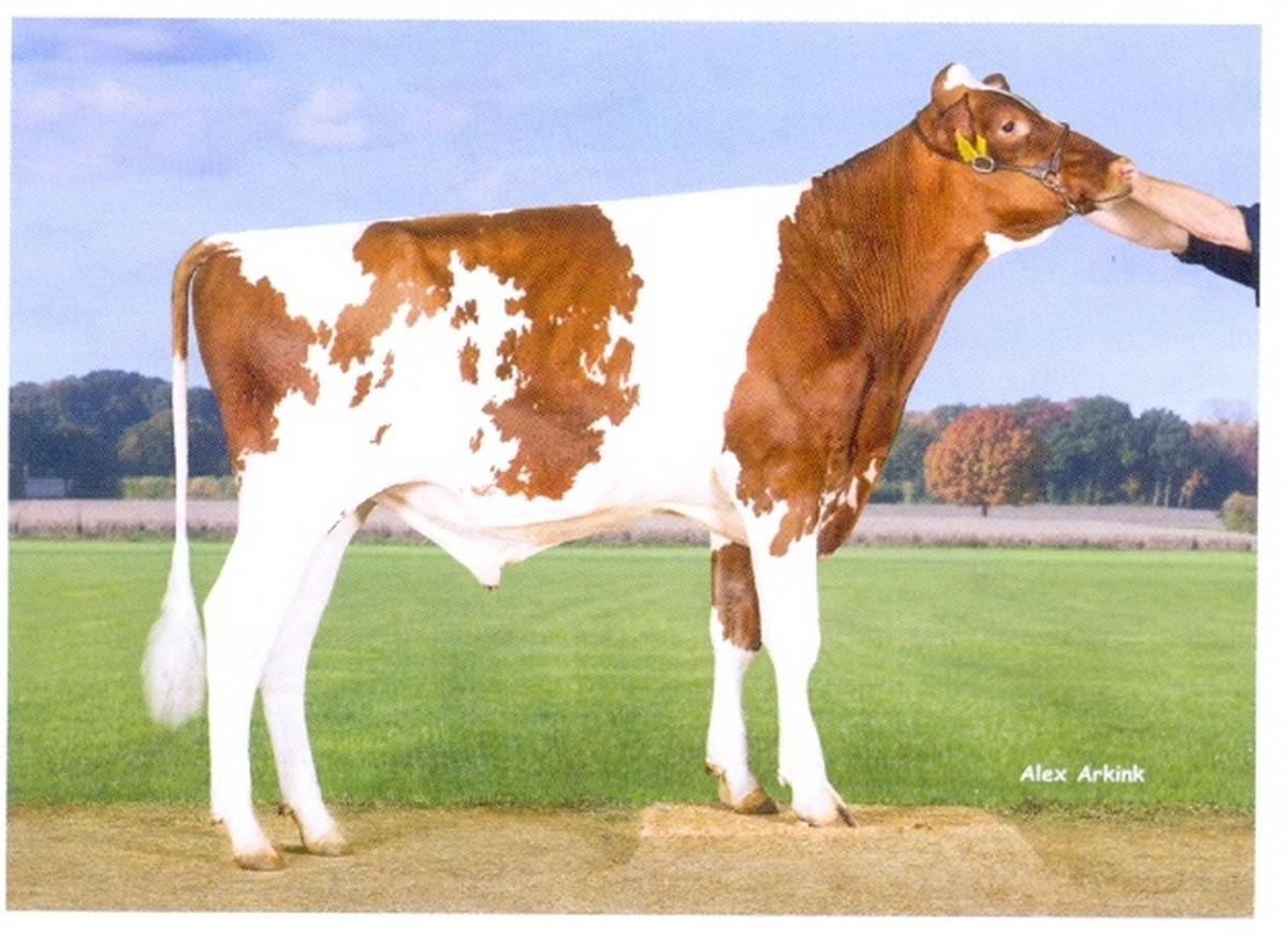 Семя быка Борн Ред-М Нидерланды