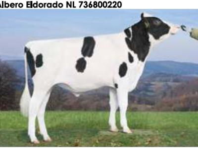 Семя быка Альберо Эльдорадо Нидерланды