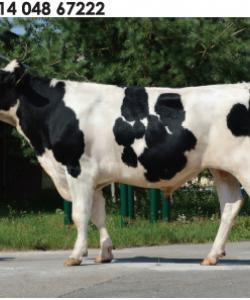 Семя быка Баньюл-М Германия