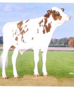 Семя быка Дроунер Ред-М Нидерланды
