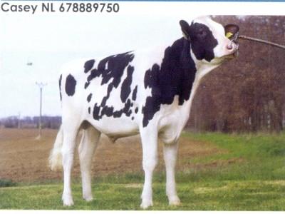 Семя быка Кейси Нидерланды